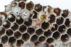 黄蜂巢 免版税图库摄影
