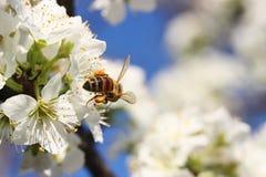 蜂开花 库存照片
