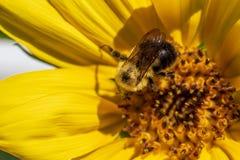 蜂弄糟向日葵 库存图片