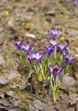 蜂弄糟紫罗兰色的番红花 库存图片