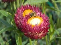 蜂录影在花的 影视素材