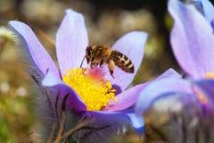 蜂或蜜蜂在Pasqueflower 免版税库存图片