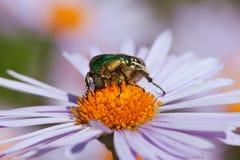 蜂或蜜蜂坐花 免版税库存图片
