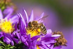 蜂或蜜蜂坐花 库存图片