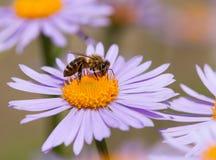 蜂或蜜蜂坐花 免版税库存照片
