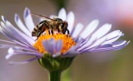 蜂或蜜蜂坐花 免版税图库摄影
