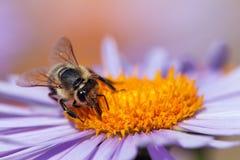 蜂或蜜蜂坐花 库存照片
