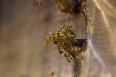 蜂房jataí 库存图片