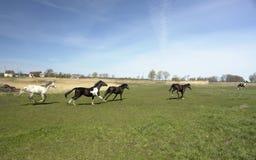 蜂拥牧群的马 免版税库存照片