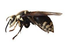 蜂挖掘者 库存照片