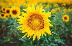 蜂授粉一个向日葵的花在领域的 昆虫模仿  在领域的美丽的明亮的黄色花  库存照片