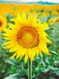蜂授粉一个向日葵的花在领域的 昆虫模仿  在领域的美丽的明亮的黄色花  免版税库存图片