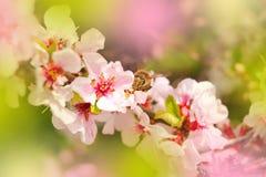 蜂授粉一个进展的分支 免版税图库摄影