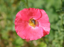 黄蜂授粉一朵野生红色蝴蝶花 库存图片