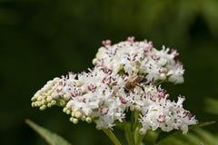蜂授粉一束大白花 免版税库存照片