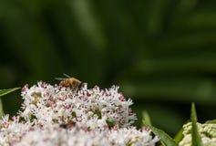 蜂授粉一束大白花 库存图片
