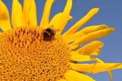 蜂授粉向日葵,收集蜂蜜 免版税库存照片