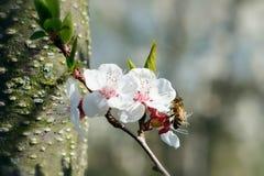 蜂授粉春天树花  养蜂 eps例证昆虫jpeg种植向量 库存照片