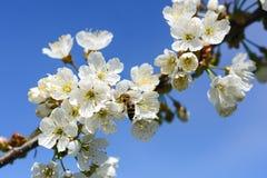 蜂授粉春天树花  养蜂 eps例证昆虫jpeg种植向量 免版税库存照片