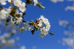蜂授粉春天树花  养蜂 eps例证昆虫jpeg种植向量 免版税图库摄影