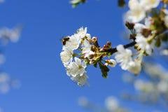 蜂授粉春天树花  养蜂 eps例证昆虫jpeg种植向量 图库摄影