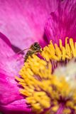 蜂授粉牡丹花 在一朵桃红色花的昆虫 库存照片