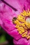 蜂授粉牡丹花 在一朵桃红色花的昆虫 免版税图库摄影