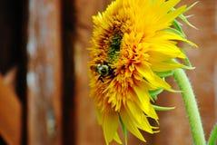 蜂授粉的向日葵 免版税库存图片
