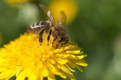 蜂授粉的植物 库存照片
