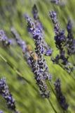 蜂授粉的花   免版税库存图片