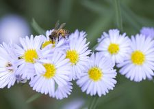 蜂授粉的雏菊 免版税库存照片