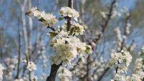 蜂授粉花在慢动作美好的自然电影的果树 股票视频