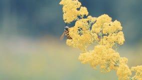 蜂授粉黄色花 股票视频
