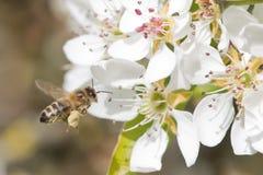 蜂授粉 免版税库存照片