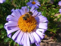 蜂接近在紫罗兰色花 绿色背景 宏观蜂蜜蜂 在葡萄酒样式的花Garden.vector花卉背景 免版税库存照片