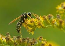 黄蜂接近 免版税库存图片