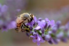蜂搜寻淡紫色花的特写镜头 库存图片