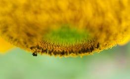 蜂收集在一个开花的向日葵的花粉 图库摄影