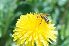 蜂收集在一个黄色开花的蒲公英的花蜜,在昆虫的腿的花粉,野生生物背景 免版税库存照片