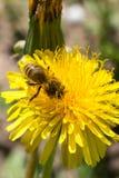 蜂收集在一个黄色开花的蒲公英的花蜜,在昆虫的腿的花粉,野生生物背景 免版税图库摄影