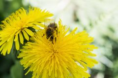蜂收集在一个黄色开花的蒲公英的花蜜,在昆虫的腿的花粉,野生生物背景 免版税库存图片