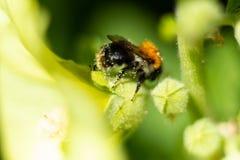 蜂收集在一朵开花的花的花蜜 图库摄影