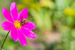 蜂收集在一朵桃红色花的花蜜 免版税库存照片