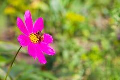 蜂收集在一朵桃红色花的花蜜 图库摄影