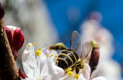蜂收集在一朵狂放的杏子花的花粉反对蓝色sk 免版税库存图片