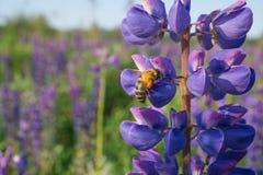 蜂收集在一朵蓝色花的花粉 库存图片