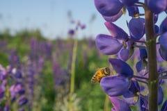 蜂收集在一朵蓝色花的花粉 库存照片