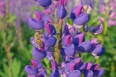 蜂收集在一朵蓝色花的花粉 图库摄影