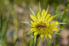 蜂收集在一朵黄色花的花粉 免版税库存照片