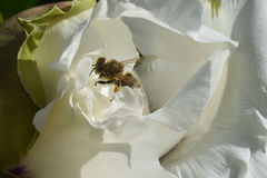 蜂收集在大白色柔和的春天牡丹里面的蜂蜜,在黄色花粉的昆虫` s腿 库存照片